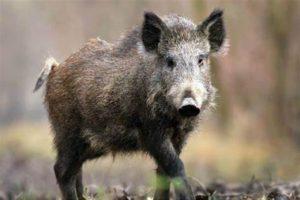Culinary Hog