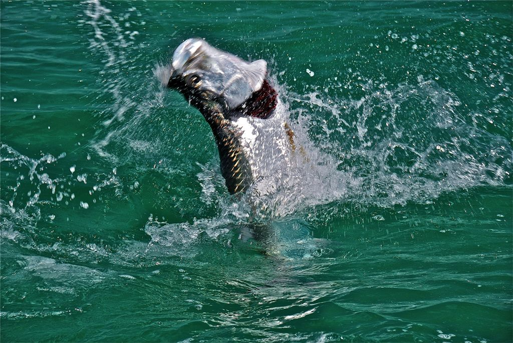 El Pescador Jumping Tarpon
