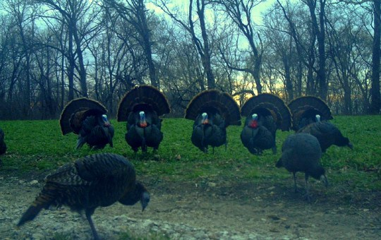 LT Turkey Strut