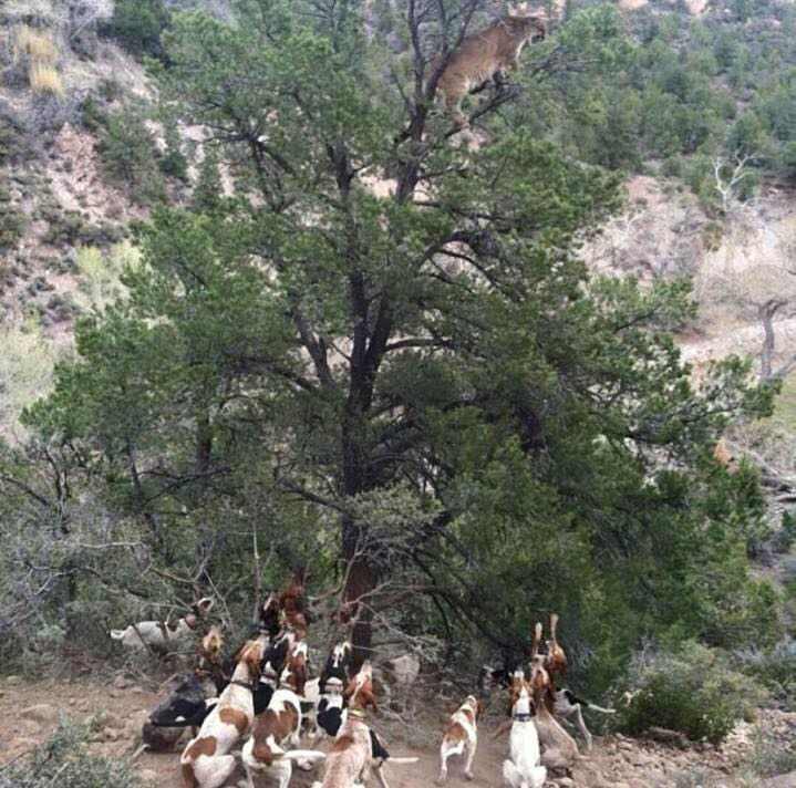 TB Hounds Treed