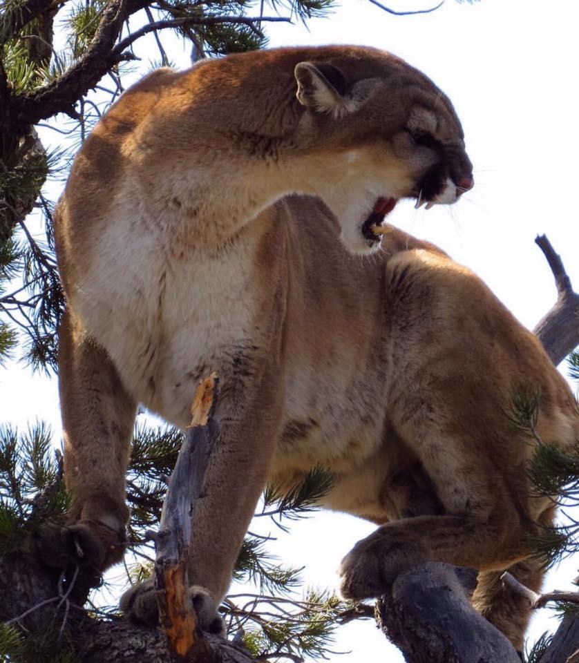 TB Lion Snarl