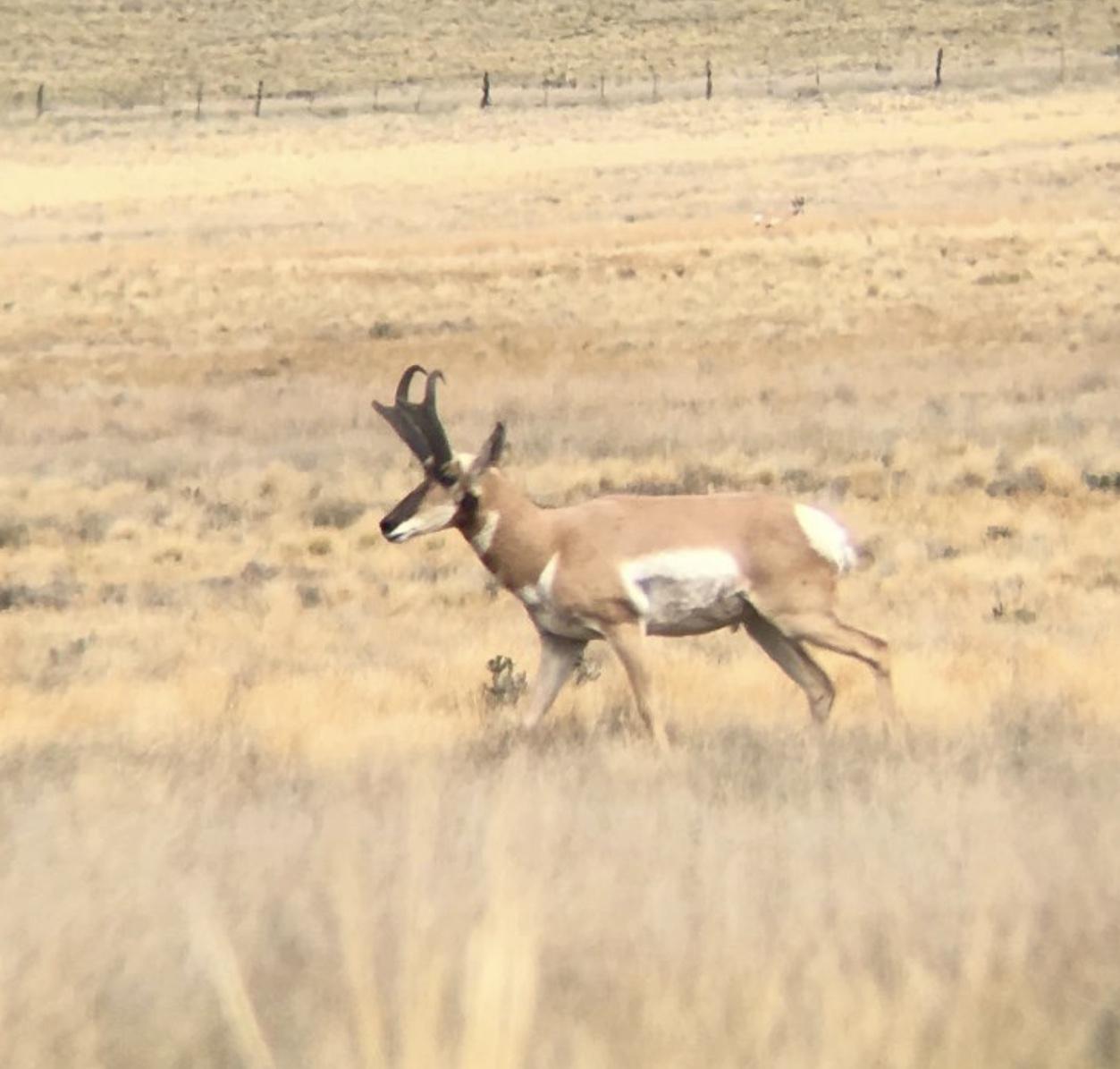 THA Antelope Live
